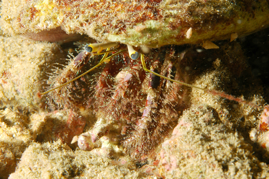 <b><i>Dardanus lagopodes (Forskål, 1775)</i></b><br>Detailed information: Dardanus lagopodes (Forskål, 1775). Futuna I., fieldwork Poupin & Juncker, 2007, st. 22, size about 80 mm. Copyright M. Juncker.