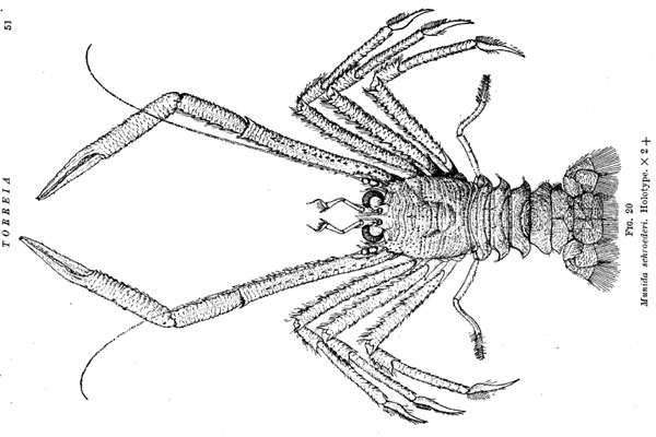 <b><i>Agononida schroederi (Chace, 1939)</i></b><br>Detailed information: Agononida schroederi - Holotype. Adapted from Chace (1942, fig. 20).