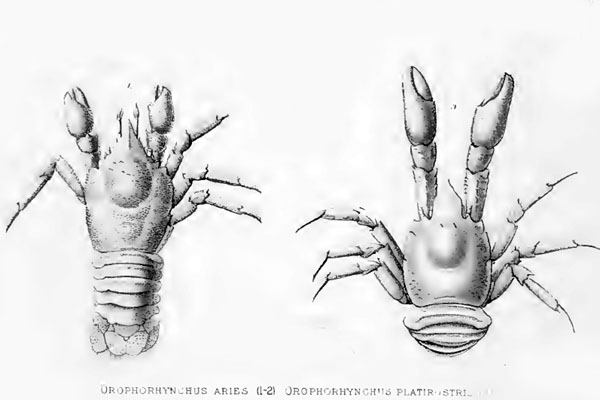 <b><i>Munidopsis platirostris (A. Milne Edwards & Bouvier, 1894)</i></b><br>Detailed information: Munidopsis aries (left) and M. platirostris (right) - Adapted from A. Milne-Edwards & Bouvier (1879, pl. 10).
