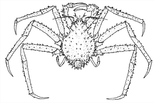 <b><i>Neolithodes agassizii (Smith, 1882)</i></b><br>Detailed information: Neolithodes agassizii - After Smith (1882)