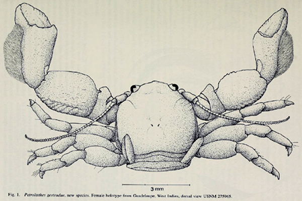 <b><i>Petrolisthes gertrudae Werding, 1996</i></b><br>Detailed information: Petrolisthes gertrudae Werding, 1996: 300, Fig. 1 (type locality Guadeloupe). Type specimen from Werding (1996, fig. 1).