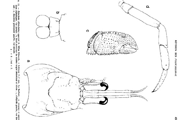 <b><i>Pylocheles agassizi A. Milne-Edwards, 1880</i></b><br>Detailed information: Pylocheles agassizi - Adapted from Forest (1987, fig. 11), holotype, Barbados.