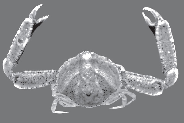 <b><i>Costalambrus tommasii (Rodrigues da Costa, 1959)</i></b><br>Detailed information: Costalambrus tommasii - From Margarita Island. Adapted from Bolaños et al. (2006), fig. 2.