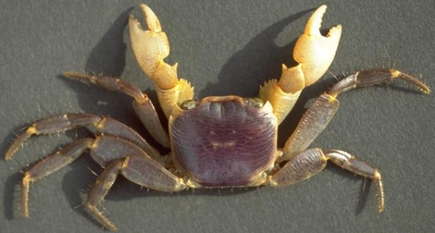 <b><i>Geograpsus grayi (H. Milne Edwards, 1853)</i></b><br>Detailed information: Geograpsus grayi (H. Milne Edwards, 1853) - Society, Tahiti, Taravao, coll. J. Poupin April 1995, male, carapace 20x24 mm; terrestrial affinities. Copyright J. Poupin.