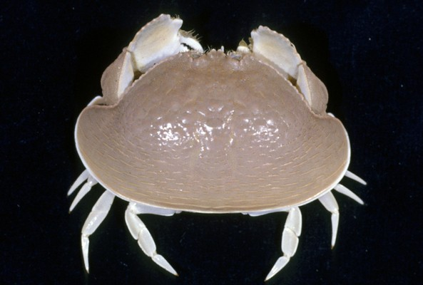 <b><i>Calappa calappa (Linnaeus, 1758)</i></b><br>Expedition: MUSORSTOM 9, station CP1188<br>Detailed information: Marquesas, trawl, 80 m, male carapace 76x141.5 mm<br><i>Copyright - IRD - Laboute</i>