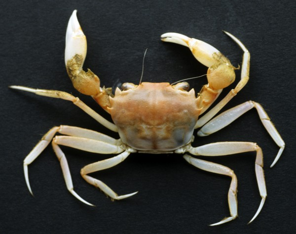 <b><i>Trizocarcinus tacitus Chace, 1940</i></b><br>Expedition: POLKA-1993, station C34<br>Detailed information: Trizocarcinus tacitus Chace, 1940 - Guadeloupe, Polka, trap 405 m, 1 female, 20.6 mm × 29.4 mm (MNHN-B30602). Copyright J. Poupin.<br><i>Copyright - IRD - Poupin</i>