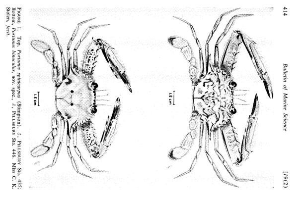 <b><i>Achelous binoculus (Holthuis, 1969)</i></b><br>Detailed information: Achelous binoculus vs spinicarpus in Holthuis (1969, fig. 1).