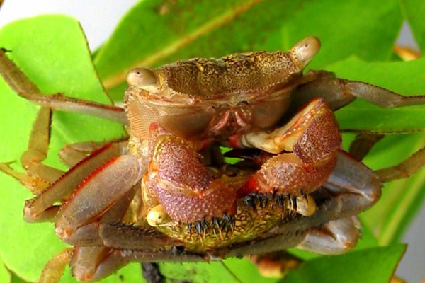 <b><i>Aratus pisonii (H. Milne Edwards, 1837)</i></b><br>Detailed information: Aratus pisonii - Venezuela. Copyright Carmona-Suarez.