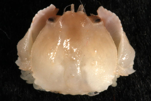 <b><i>Cyclozodion ?angustum (A. Milne-Edwards, 1880)</i></b><br>Detailed information: Cyclozodion ?angustum - Guadeloupe, Karubenthos, MNHN-IU-2013-4524, st. GS21 (14 m), JL921, 1 juv. 4.3x4.5 mm (or a juv. Of C. tuberatum), re-det. Poupin April 2014. Copyright Poupin.