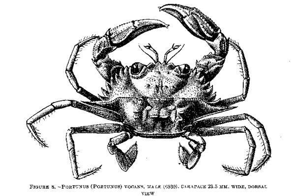 <b><i>Laleonectes vocans (A. Milne-Edwards, 1878)</i></b><br>Detailed information: Laleonectes vocans - From Rathbun (1930, fig. 8).