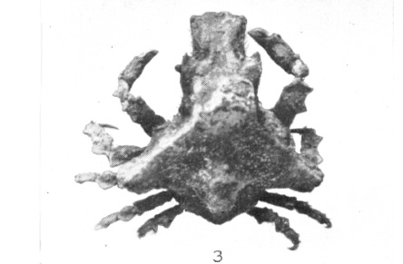 <b><i>Microlissa bicarinata (Aurivillius, 1889)</i></b><br>Detailed information: Microlissa bicarinata - Adapted from Rathbun (1925, pl. 73, fig. 3)