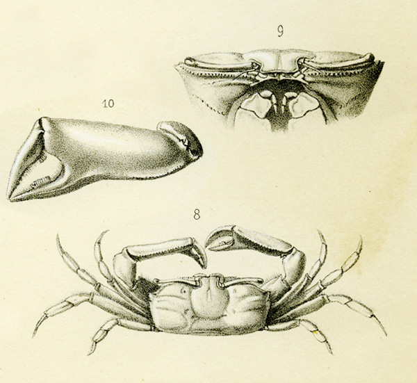 <b><i>Macrophthalmus (Macrophthalmus) grandidieri A. Milne-Edwards, 1867</i></b><br>Detailed information: Macrophthalmus (Macrophthalmus) grandidieri - Spécimen de Zanzibar dessiné pour la description de cette espèce, dans  A. Milne-Edwards, 1868, pl. 20, fig. 8, 9, 10.