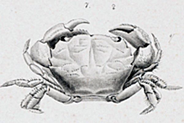 <b><i>Microcassiope minor (Dana, 1852)</i></b><br>Detailed information: Microcassiope minor (Dana, 1852) - Adapted from Dana Atlas, 1852, pl. 8, fig. 7. Described from Madeira or the Cap Verde Islands.
