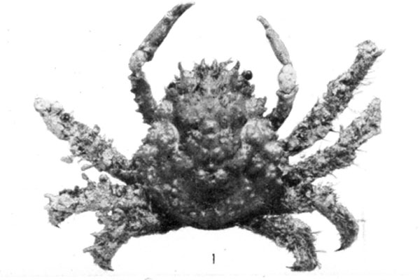 <b><i>Nonala holderi (Stimpson, 1871)</i></b><br>Detailed information: Mithrax (Mithrax) holderi - Adapted from Rathbun, 1925, pl. 138, fig. 1.