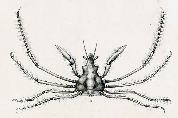 <b><i>Coryrhynchus riisei (Stimpson, 1860)</i></b><br>Detailed information: Coryrhynchus riisei - St Thomas. Type specimen adapted from Stimpson (1860, pl. 2, fig 6).