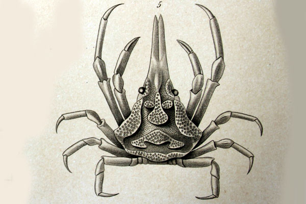 <b><i>Sphenocarcinus corrosus A. Milne-Edwards, 1878</i></b><br>Detailed information: Sphenocarcinus corrosus A. Milne-Edwards, 1878: 136, pl. 17, fig. 5, Barbados.