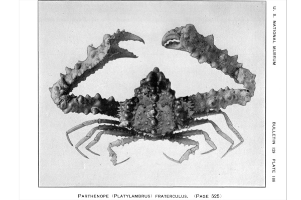 <b><i>Spinolambrus fraterculus (Stimpson, 1871)</i></b><br>Detailed information: Spinolambrus fraterculus (Stimpson, 1871) - From Ratbhun (1925, pl. 186).