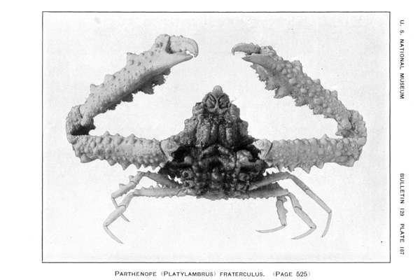 <b><i>Spinolambrus fraterculus (Stimpson, 1871)</i></b><br>Detailed information: Spinolambrus fraterculus (Stimpson, 1871) - From Ratbhun (1925, pl. 187).