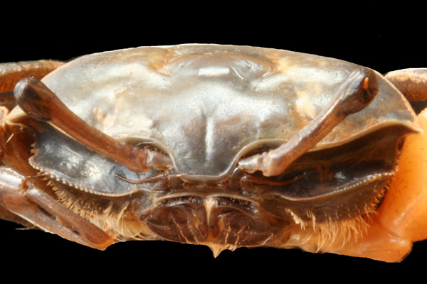 <b><i>Austruca annulipes (H. Milne Edwards, 1837)</i></b><br>Detailed information: Austruca annulipes - Mayotte, mission KUW novembre 2009, st. 13b, mangrove de Malamani, coll. JMB, st P3, 1 mâle 8,8 x 15,0 mm photographie après la fixation, MNHN B32093, dét. R. Cléva. Copyright Poupin/Cléva.