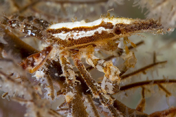 <b><i>Xenocarcinus conicus (A. Milne-Edwards, 1865)</i></b><br>Detailed information: Xenocarcinus ?conicus - Réunion. Copyright Yann Oulia, 2013