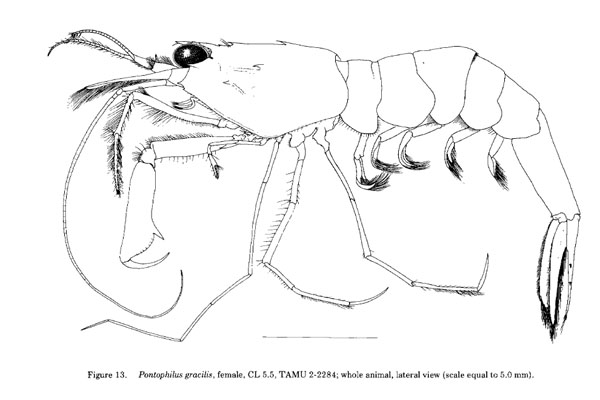 <b><i>Parapontophilus gracilis (Smith, 1882)</i></b><br>Detailed information: Parapontophilus gracilis - From Dardeau & Heard (1983, fig. 13).
