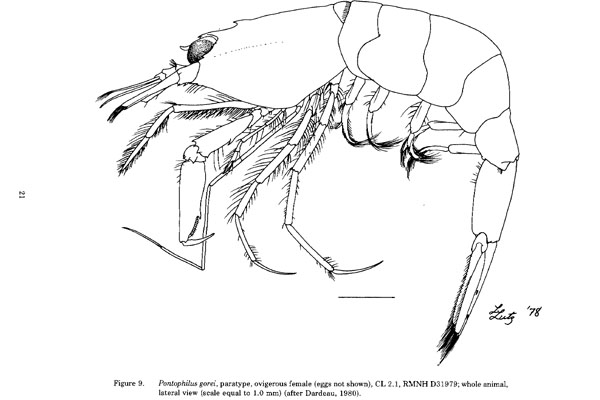 <b><i>Philocheras gorei (Dardeau, 1980)</i></b><br>Detailed information: Philocheras gorei - From Dardeau & Heard (1983, fig. 9).