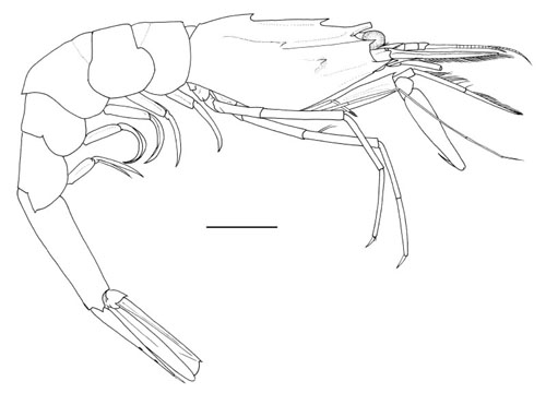 <b><i>Parapontophilus cornutus Komai, 2008</i></b><br>Detailed information: Parapontophilus cornutus - Austral Is., Tubuai, BENTHAUS, st. CP1965, 500-1200 m. Holotype F 9.7 mm, MNHN Na16159. Scale bar 5 mm. From Komai (2008: 292, fig. 10).