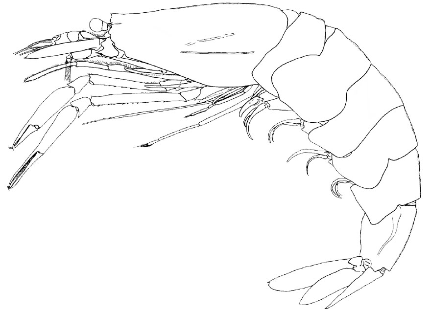 <b><i>Pasiphaea major Hayashi, 2006</i></b><br>Detailed information: Pasiphaea major Hayashi, 2006. Drawing of the holotype from Norfolk Ridge, carapace length 75 mm. Adapted from Hayashi (2006, fig. 9).