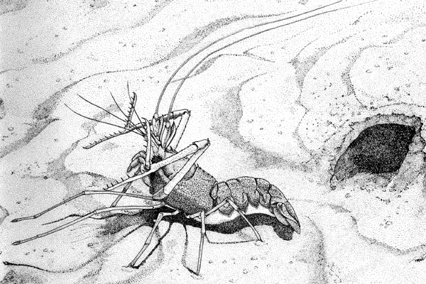 <b><i>Acanthacaris caeca (A. Milne-Edwards, 1881)</i></b><br>Detailed information: Acanthacaris caeca - In Holthuis (1991), FAO species catalogue, cover illustration. In aggressive posture outside its burrow. Drawing by M. D