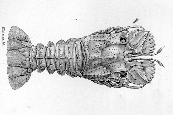 <b><i>Bathyarctus faxoni (Bouvier, 1917)</i></b><br>Detailed information: Bathyarctus faxoni - From Bouvier, 1925, pl. 7, fig. 2. Type male from R/V Blake, st. 167, Guadeloupe.